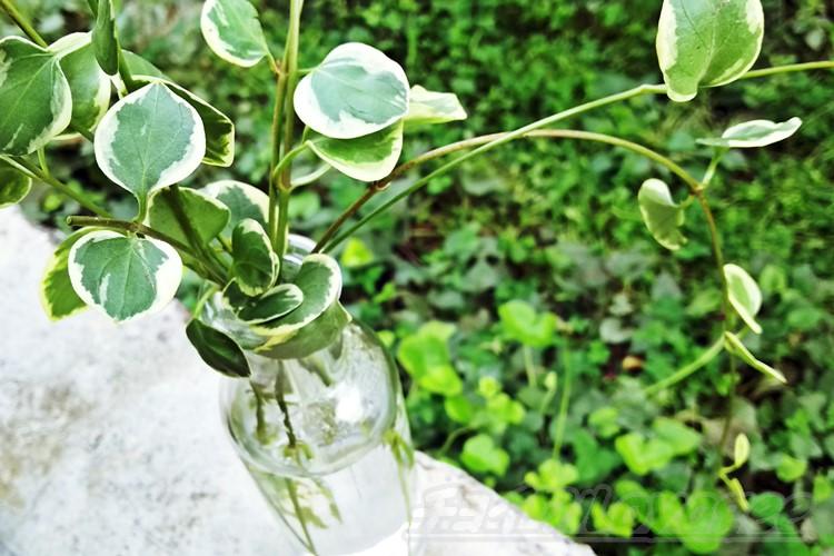ホヤ 植物